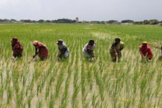Nigerian rice farmers