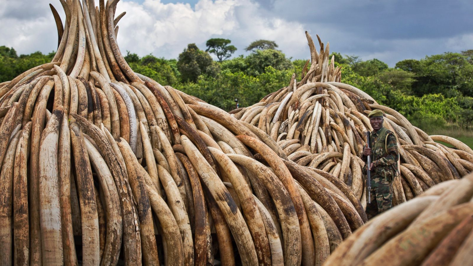 105 tons of ivory